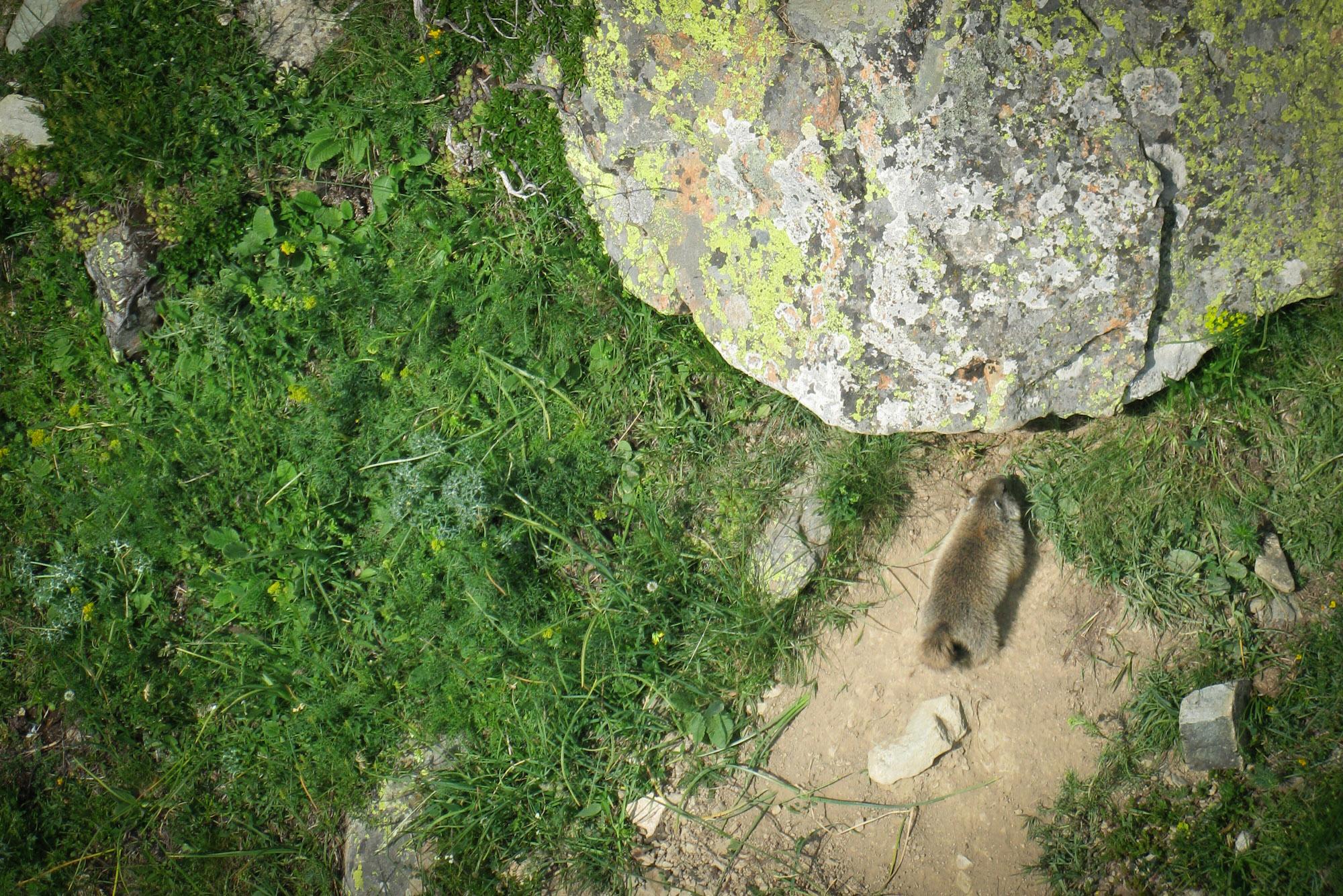 Marmotas en Cerler