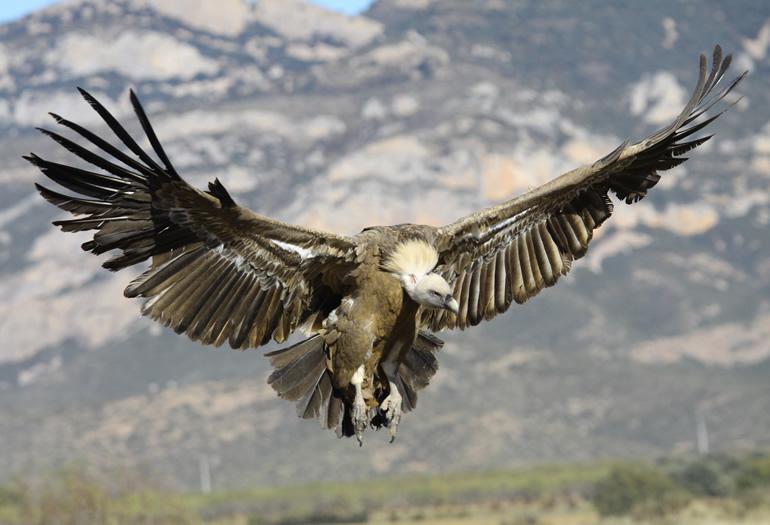 Buitres, quebrantahuesos… ¿Conoces las aves que hay en el pirineo?