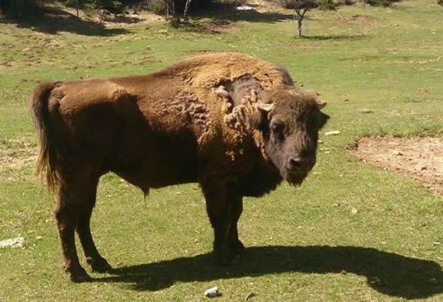 bisonte-Lacuniacha