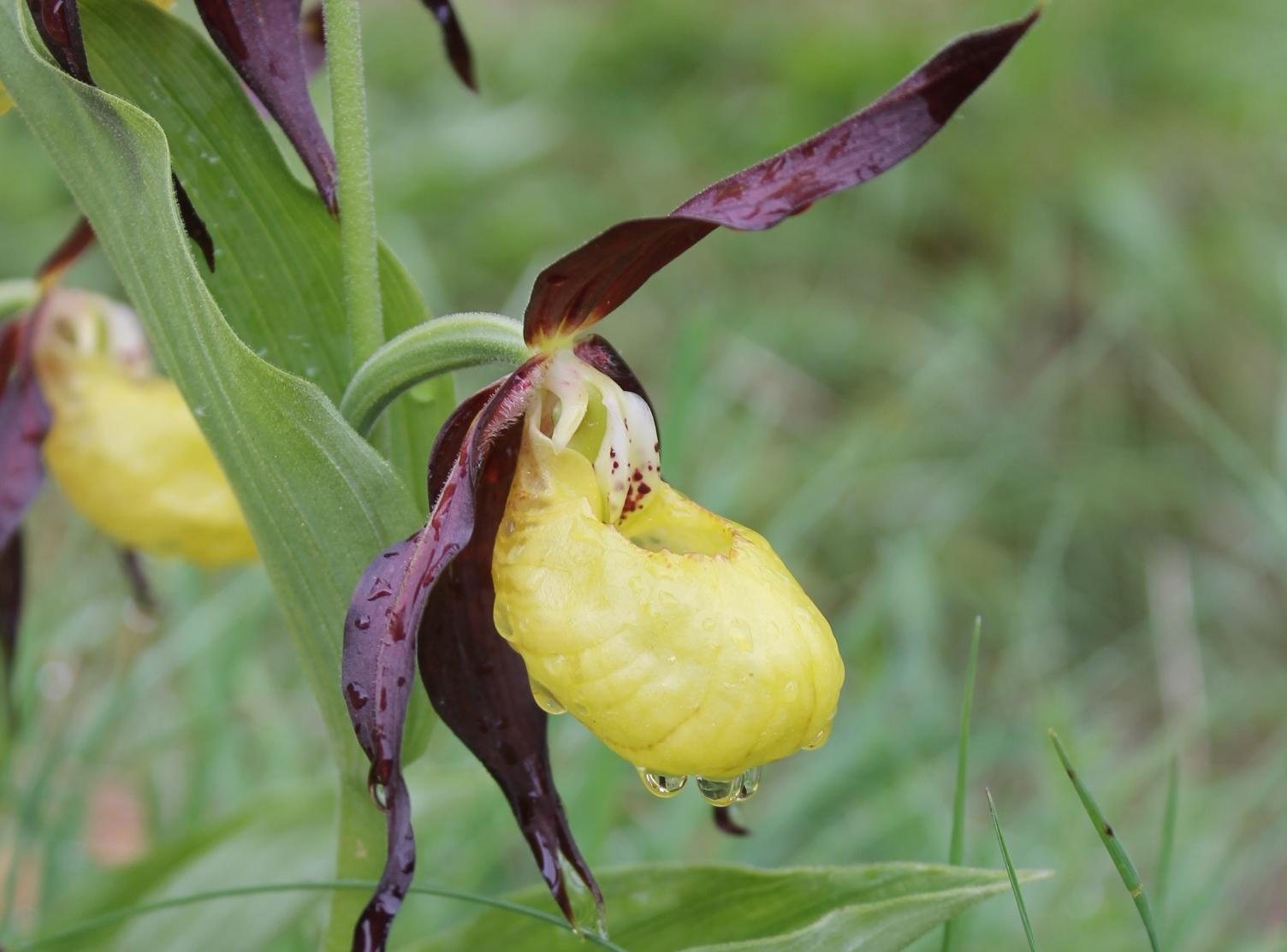 1d82640866f Zapatito de Dama, algunos detalles y curiosidades sobre esta flor en ...