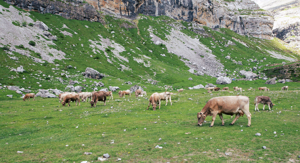 Animales Vacas Formigal Panticosa