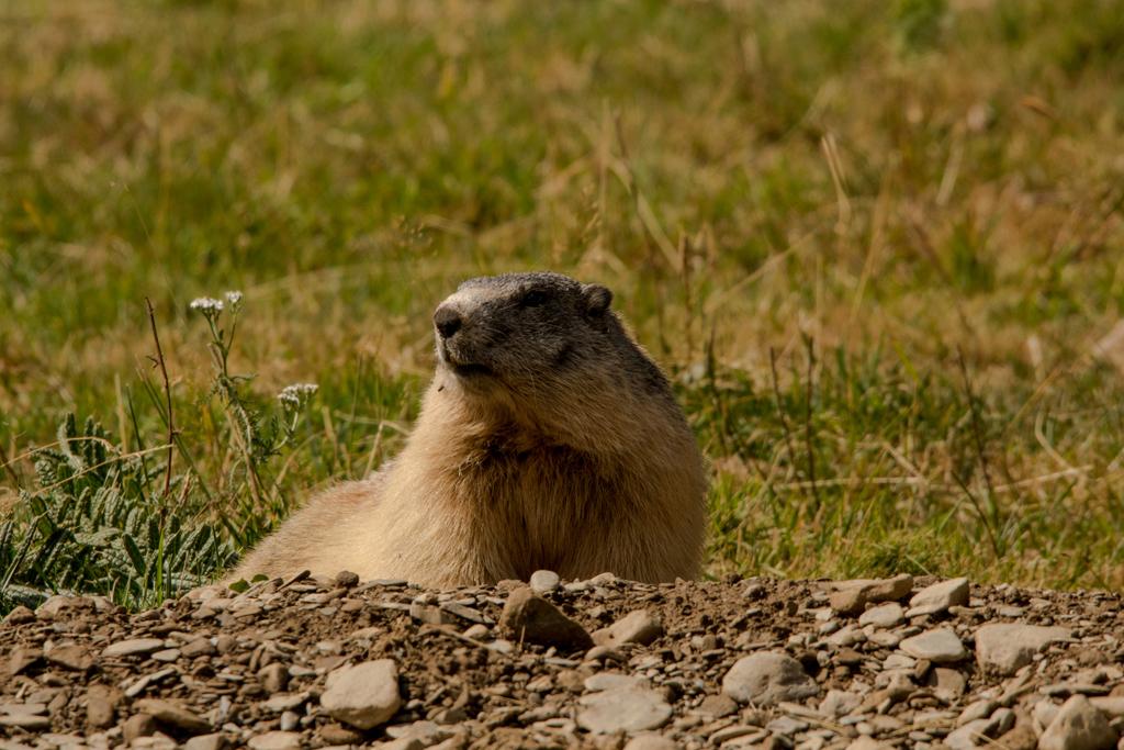 Marmota Animales