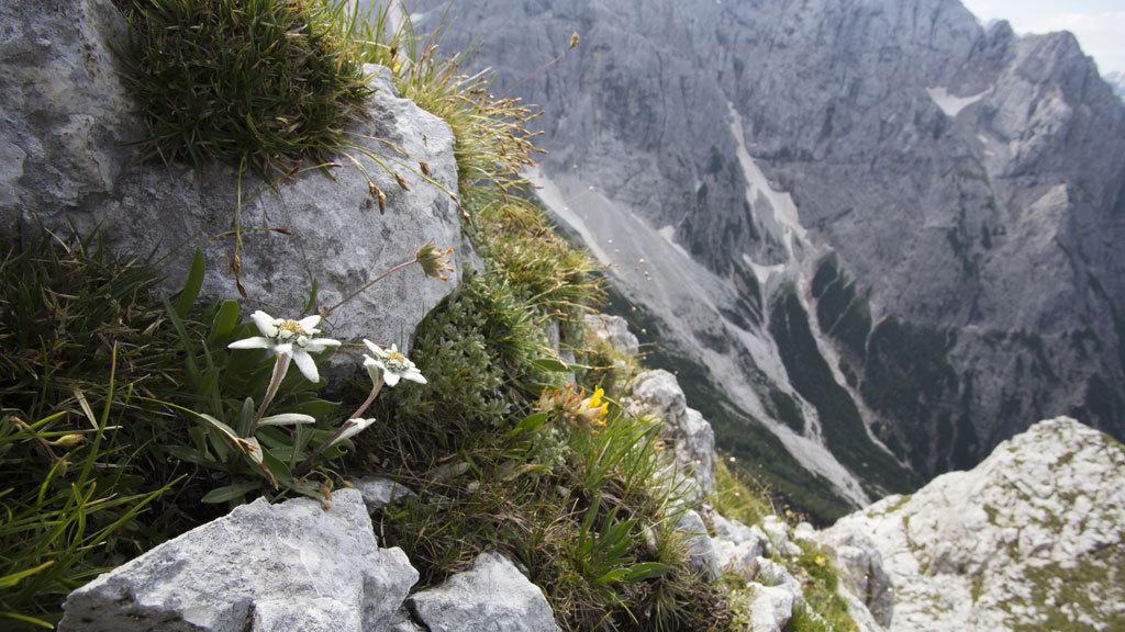 La flor de Edelweiss, otra reina del Pirineo